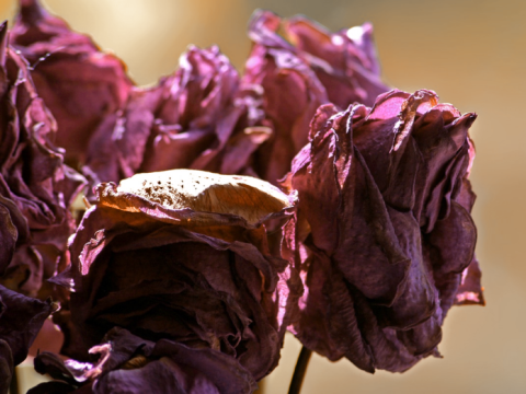 fading roses.
